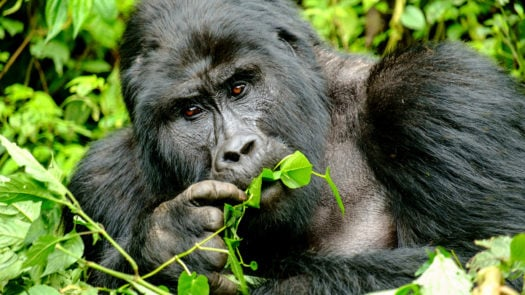 mountain-silverback-gorilla-in-bwindi-impenetrable-forest