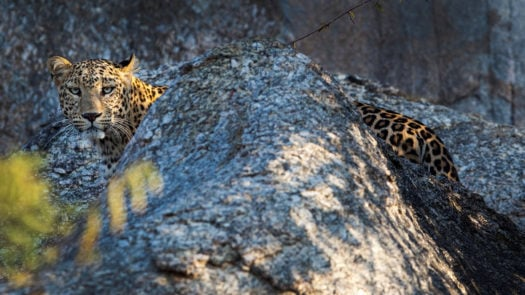 Leopard, Jawai, Rural Rajasthan, India
