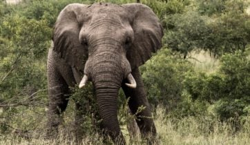 Bull Elephant, Sabi Sands, South Africa