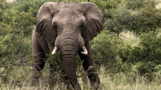 Bull Elephant, Sabi Sands, South Africa