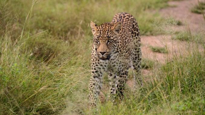 leopard-sabi-sands-south-africa