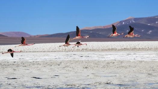 puna-desert-argentina-flamingos