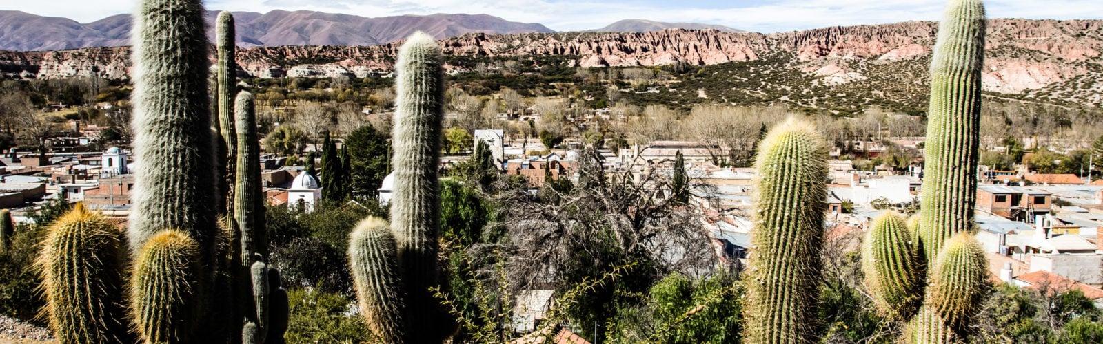jujuy-cactus