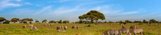 zebra-acacia-tress-maasai-mara-kenya