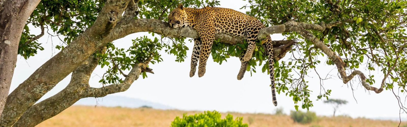 Leopard resting after eating