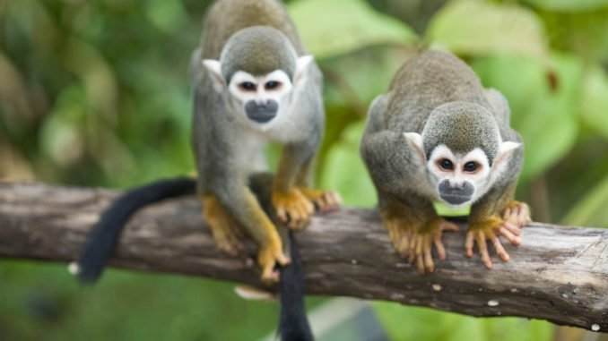 Squirrel Monkeys Amazon Ecuador