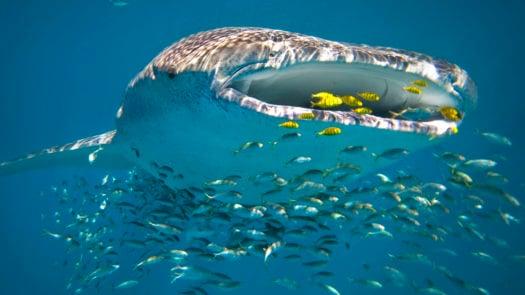 whale-shark-swimming-ningaloo-reef-australia