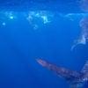 whale-shark-ningaloo-reef