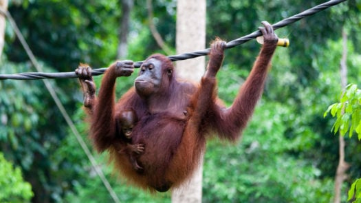 sepilok-sabah-orangutan-borneo