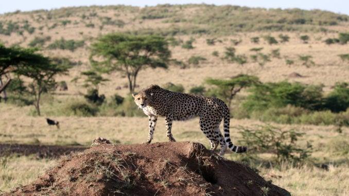 cheetah-mara-plains
