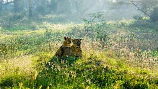 Lioness and her calf, near Lake Nakuru, Kenya