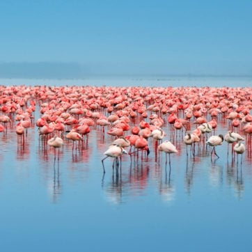 Flock of flamingos in Kenya's Lake Nakuru