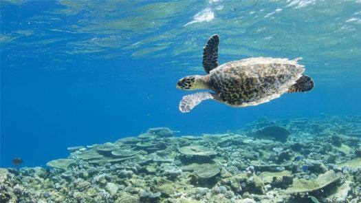 Park Hyatt Maldives Hadahaa turtle