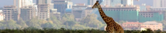 Lone giraffe against backdrop of the Nairobi city skyline – Nairobi national park, Kenya