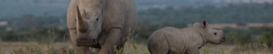 Rhinos, Solio Private Reserve, Kenya