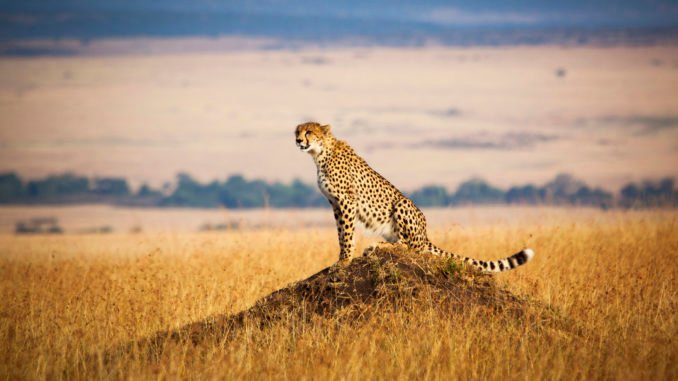 maasai-mara-cheetah