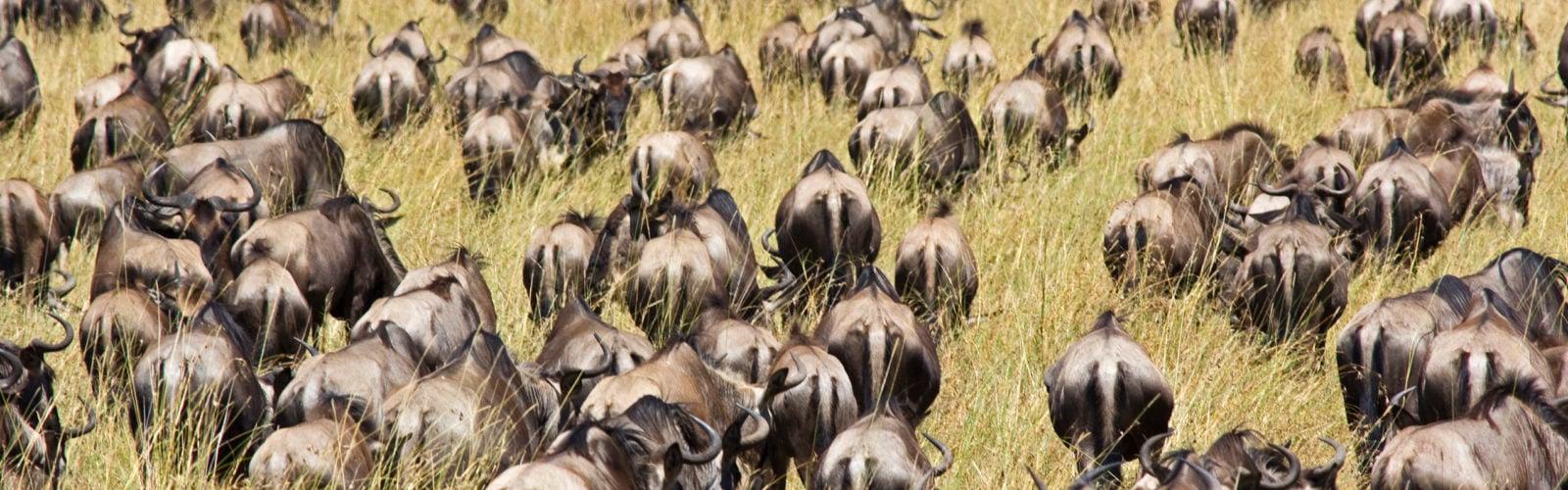 Wildebeest Great Migration