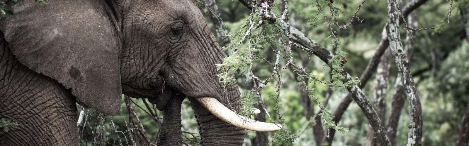 mara-conservancy-elephant