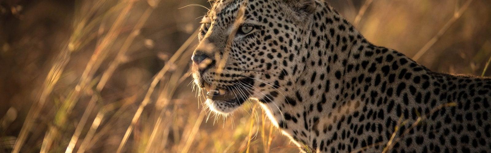 mara-conservancy-leopard