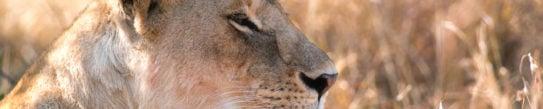mara-conservancy-lioness