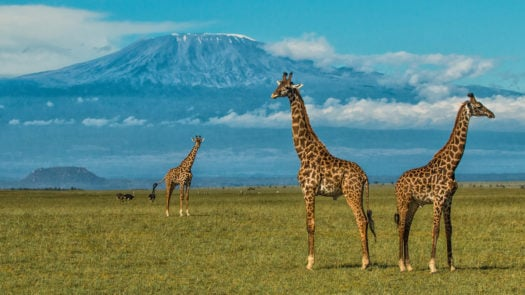 ol-donyo-lodge-giraffe-and-kilimanjaro