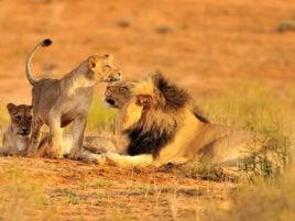 amboseli-lions