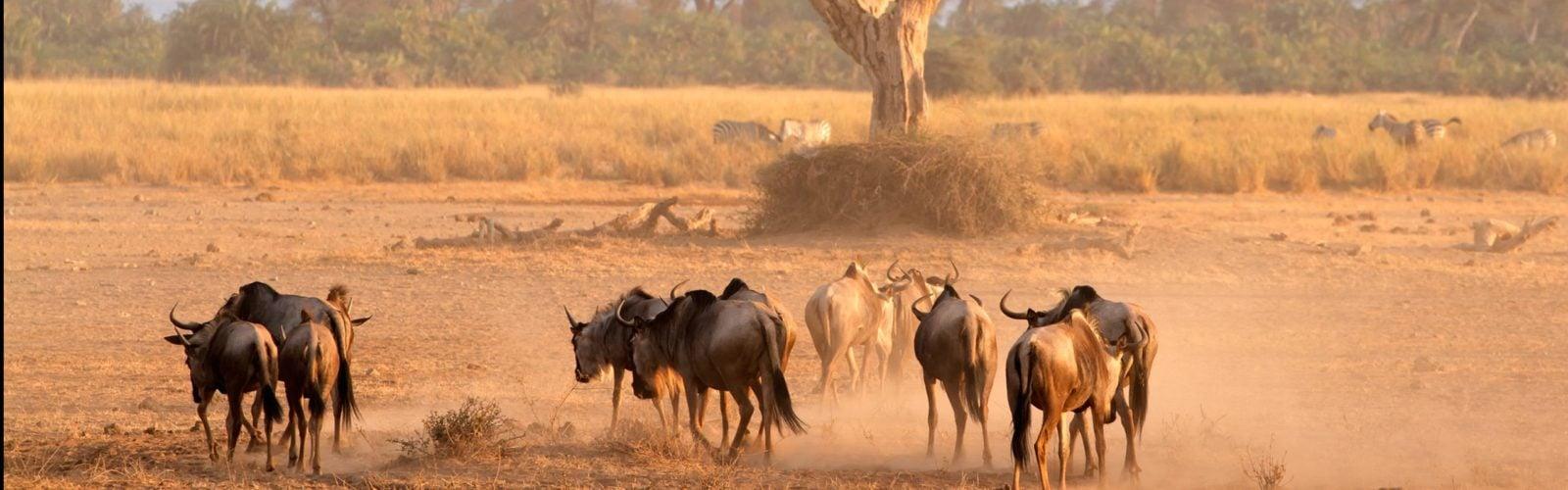 amboseli-wildebeest