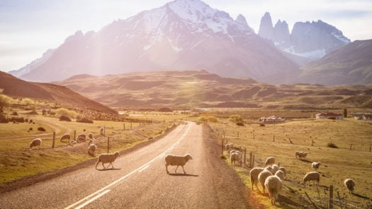 sheep-grazing-torres-del-paine-patagonia