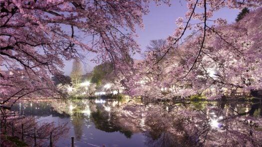 cherry-blossom-tokyo-japan