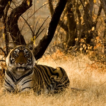 tiger-ranthambore-national-park-india