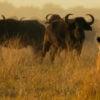 Lioness and wildebeest Botswana