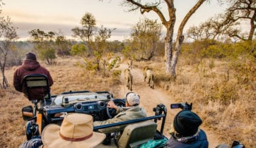Safari jeep and lions, Sabi Sabi, South Africa
