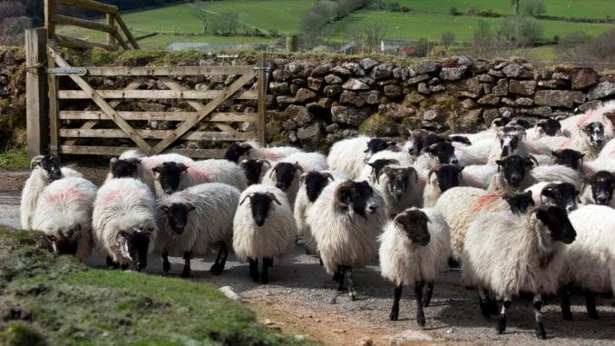 dartmoor-sheep-flock