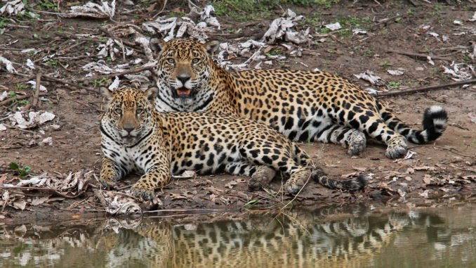 caiman-lodge-jaguar-mum-and-cub