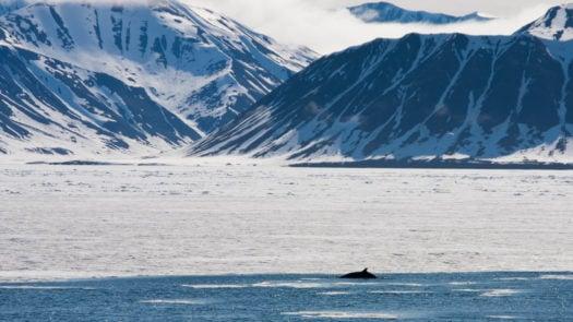 Minke Whale off Svalbard in the Arctic