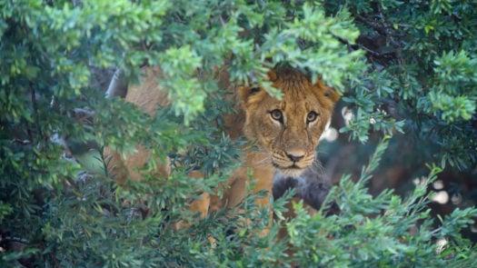 lion-tswalu-reserve-kalahari-south-africa