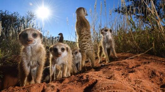 ladzinski-tswalu-meerkats