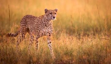Female cheetah stalking in early morning light - Masai Mara, Kenya