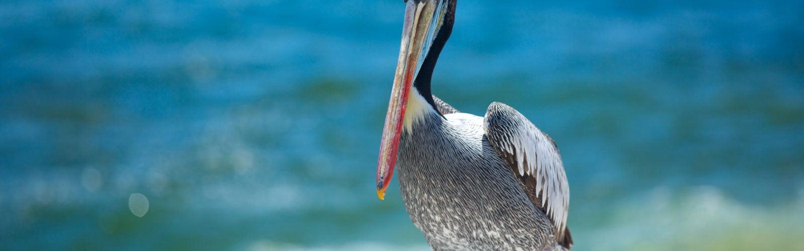 belize-pelican
