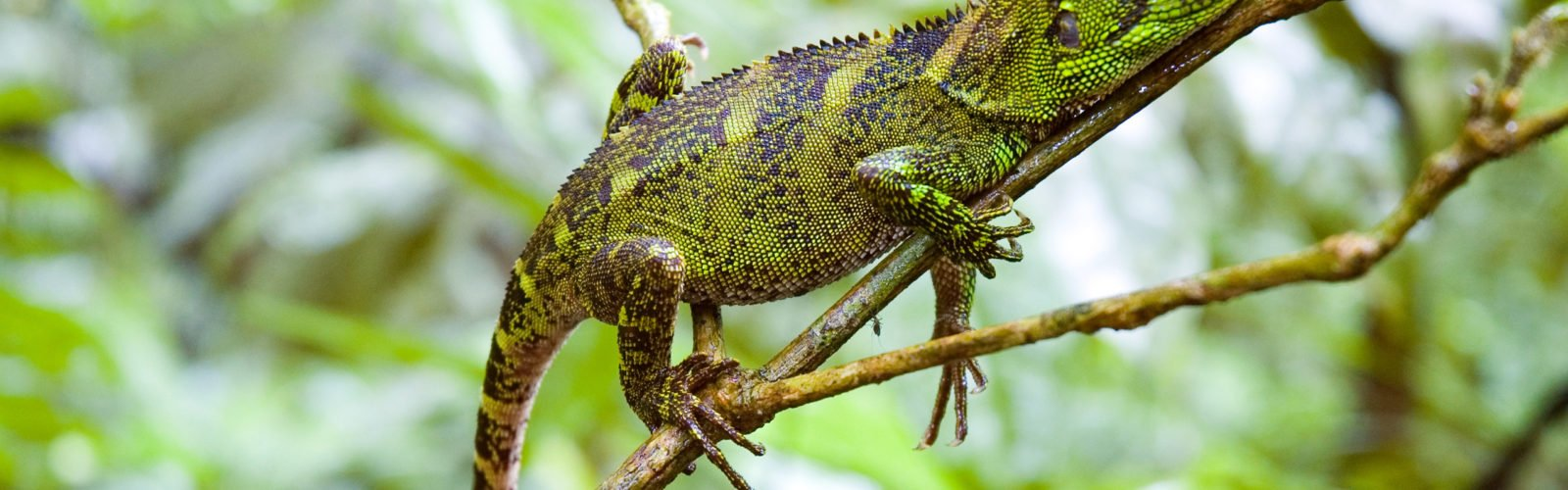 brazil-amazon-lizard