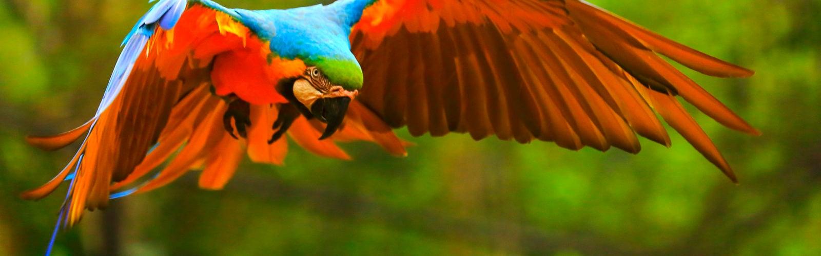 brazil-amazon-parrot