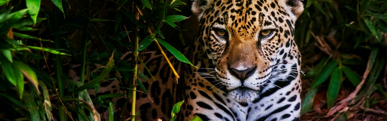 brazil-jaguar-pantanal