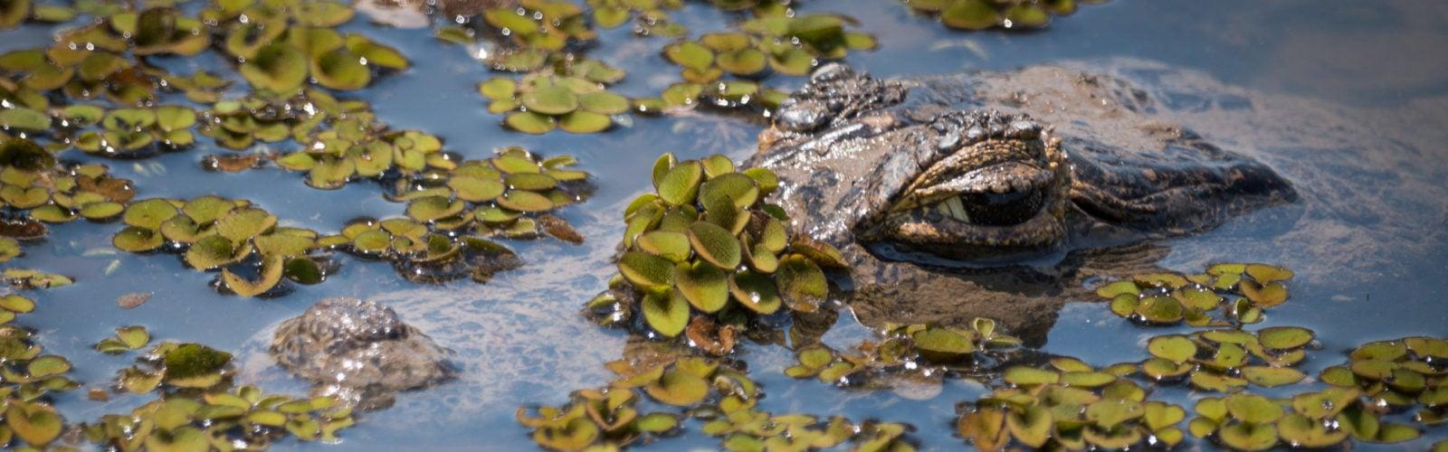 pantanal-alligator-brazil