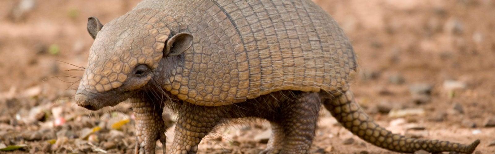 pantanal-armadillo