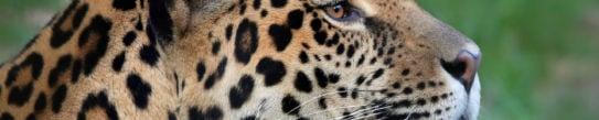 pantanal-jaguar