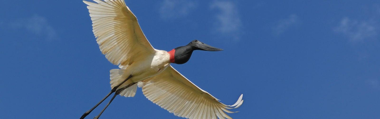 pantanal-stork