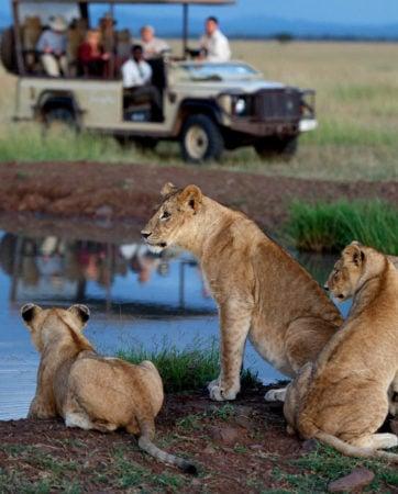 Jeep Safari Lions