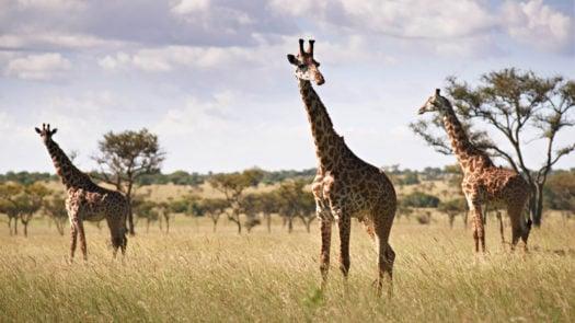 Giraffe Tanzania Serengeti