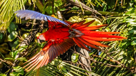 Scarlet Macaw, Corcovado, Costa Rica