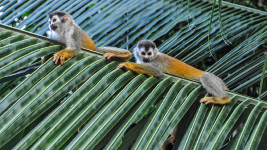 monkeys-manuel-antonio-costa-rica